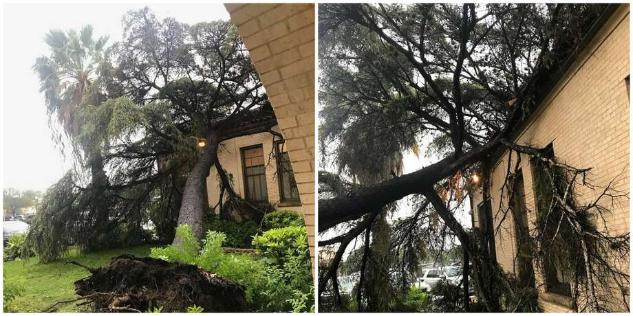 An 86-year-old blue atlas cedar fell at Thomas Jefferson High School on Sept. 10, 2018. The tree was one of the few remaining heritage trees, which were planted at the school when it opened in 1932. The tree was removed the same day and will later be replaced. Photo: Courtesy Of Ed Garza