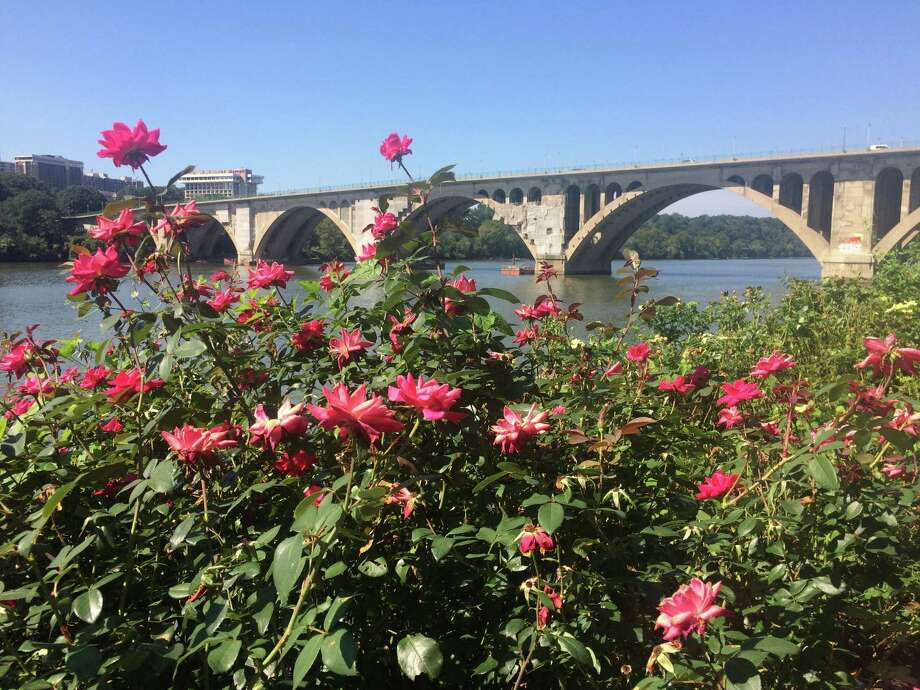 Roses at Georgetown Waterfront Park showing signs of rose rosette disease shown on Sept. 6, 2018 in Washington, DC. Photo: Adrian Higgins/The Washington Post / The Washington Post