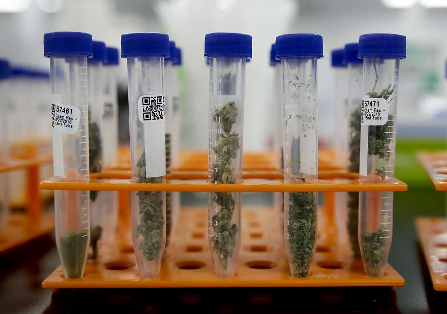 In this Wednesday, Aug. 22, 2018, photo, marijuana samples are organized at Cannalysis, a cannabis testing laboratory, in Santa Ana, Calif.  Photo: Chris Carlson / Associated Press