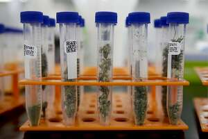 In this Wednesday, Aug. 22, 2018, photo, marijuana samples are organized at Cannalysis, a cannabis testing laboratory, in Santa Ana, Calif. Nearly 20 percent of the marijuana and marijuana products tested in California for potency and purity have failed, according to state data provided to The Associated Press. (AP Photo/Chris Carlson)