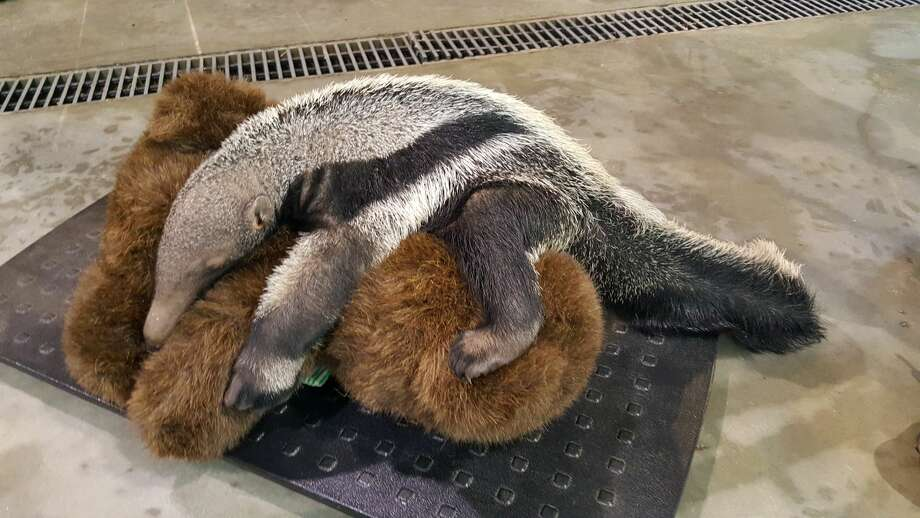 For the second time in Zoo history, a Giant anteater has been born at Connecticut's Beardsley Zoo. Arriving on the evening of July 30, 2018, the baby, a male, is now nine pounds and was born after a 175-day gestation period. Photo: Beardsley Zoo