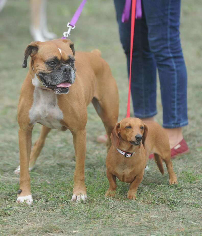 "Grab a leash and go: The ""Puttin' on the Dog"" fundraiser will be held Sunday at Roger Sherman Baldwin Park in Greenwich. Photo: File / Tyler Sizemore / Hearst Connecticut Media / Greenwich Time"