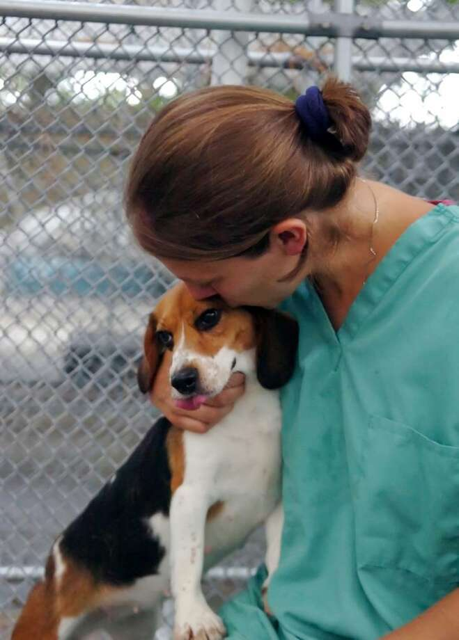Kristen Alousia, Adopt-A-Dog's kennel manager, sits with one of the rescued beagles at their kennel in Armonk, N.Y., on Thursday, July 8, 2010. Photo: Helen Neafsey / Greenwich Time