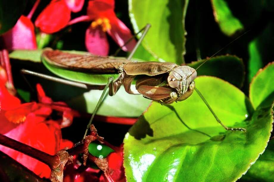 A Chinese mantis lies in wait for prey on a wax begonia plant in one of the large potted plant arrangements in downtown Midland on Tuesday. (Katy Kildee/kkildee@mdn.net)
