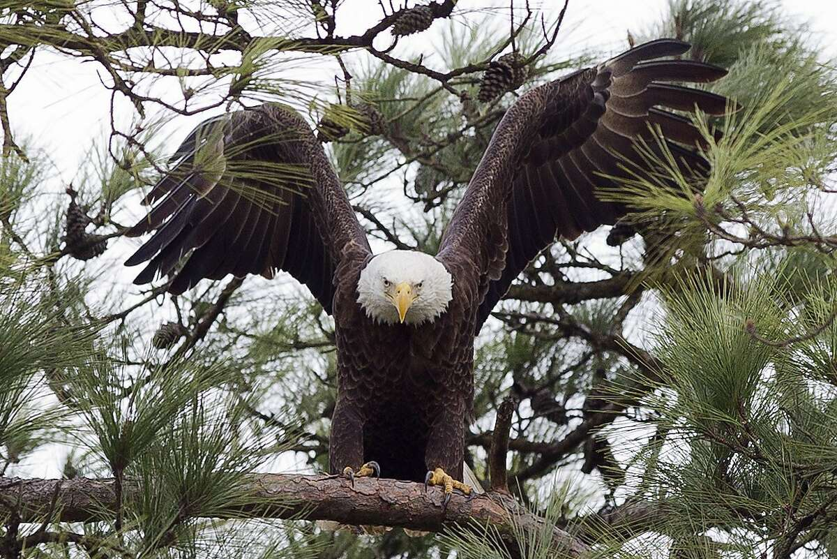 Record number of bald eagles found in Lake Tahoe's annual ...