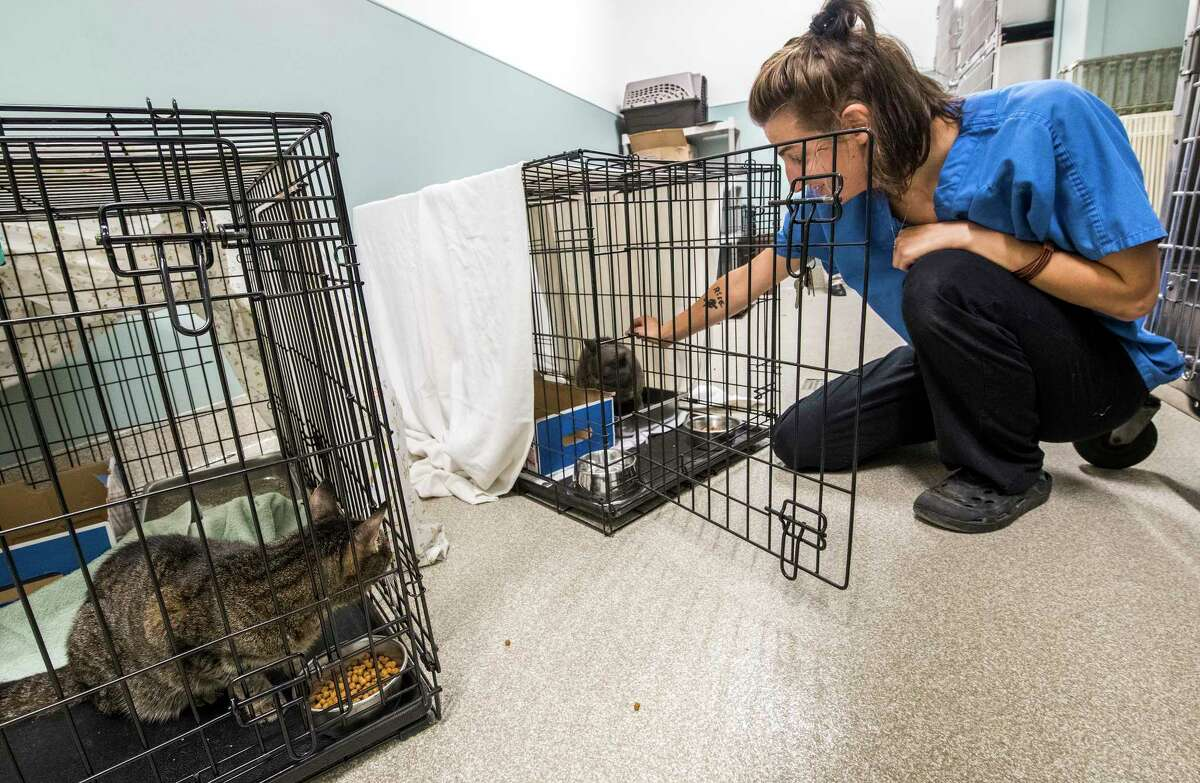 Adrienne Dinardi, senior animal care associate at the Mohawk Hudson Humane Society Tuesday Sept. 12, 2018 in Menands, N.Y., checks in on Vu as Karma, left, watches, they are two of 29 cats that were evacuated from the Grand Strand Humane Society in Myrtle Beach, SC as a result of the pending hurricane that is threatening the Carolinas. (Skip Dickstein/Times Union)
