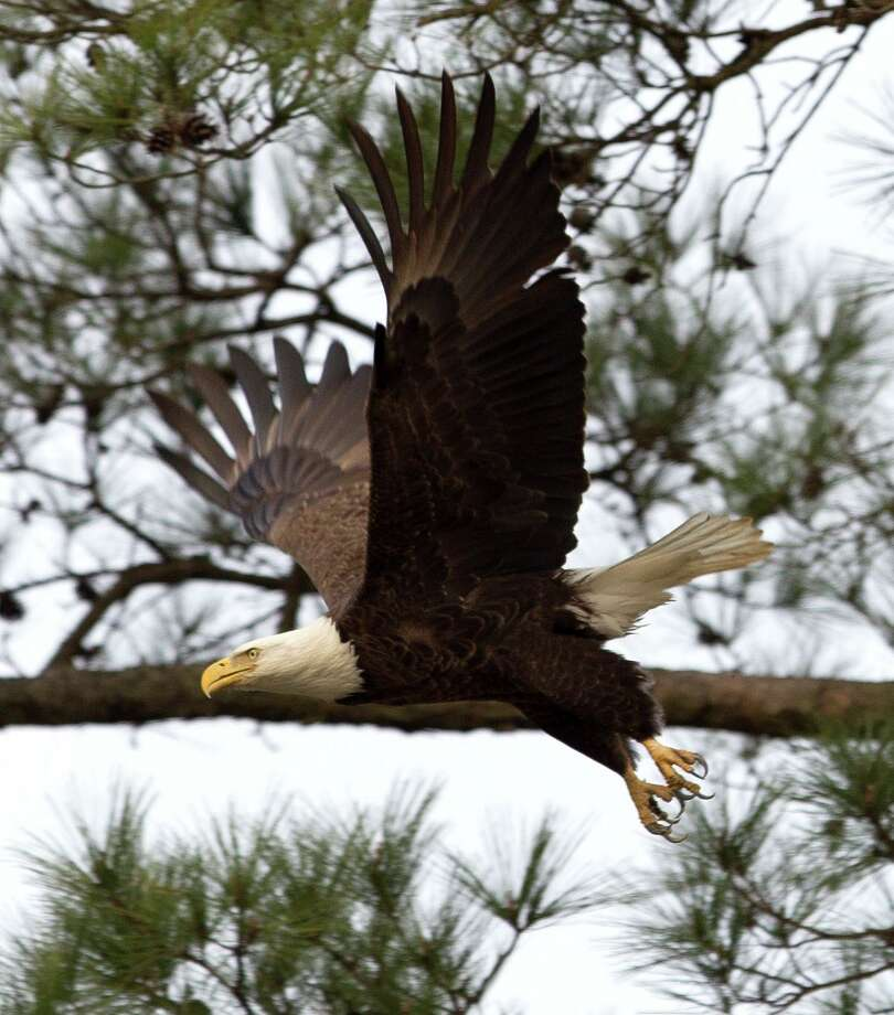 A bald eagle flies near its nest in February 2018 in The Woodlands. The pair of area nesting eagles have been away for the summer in a sort of reverse migration pattern, but they're expected to return in October or November to start rebuilding their vacated nests for nesting season. Photo: Jason Fochtman, Staff Photographer / Houston Chronicle / © 2018 Houston Chronicle