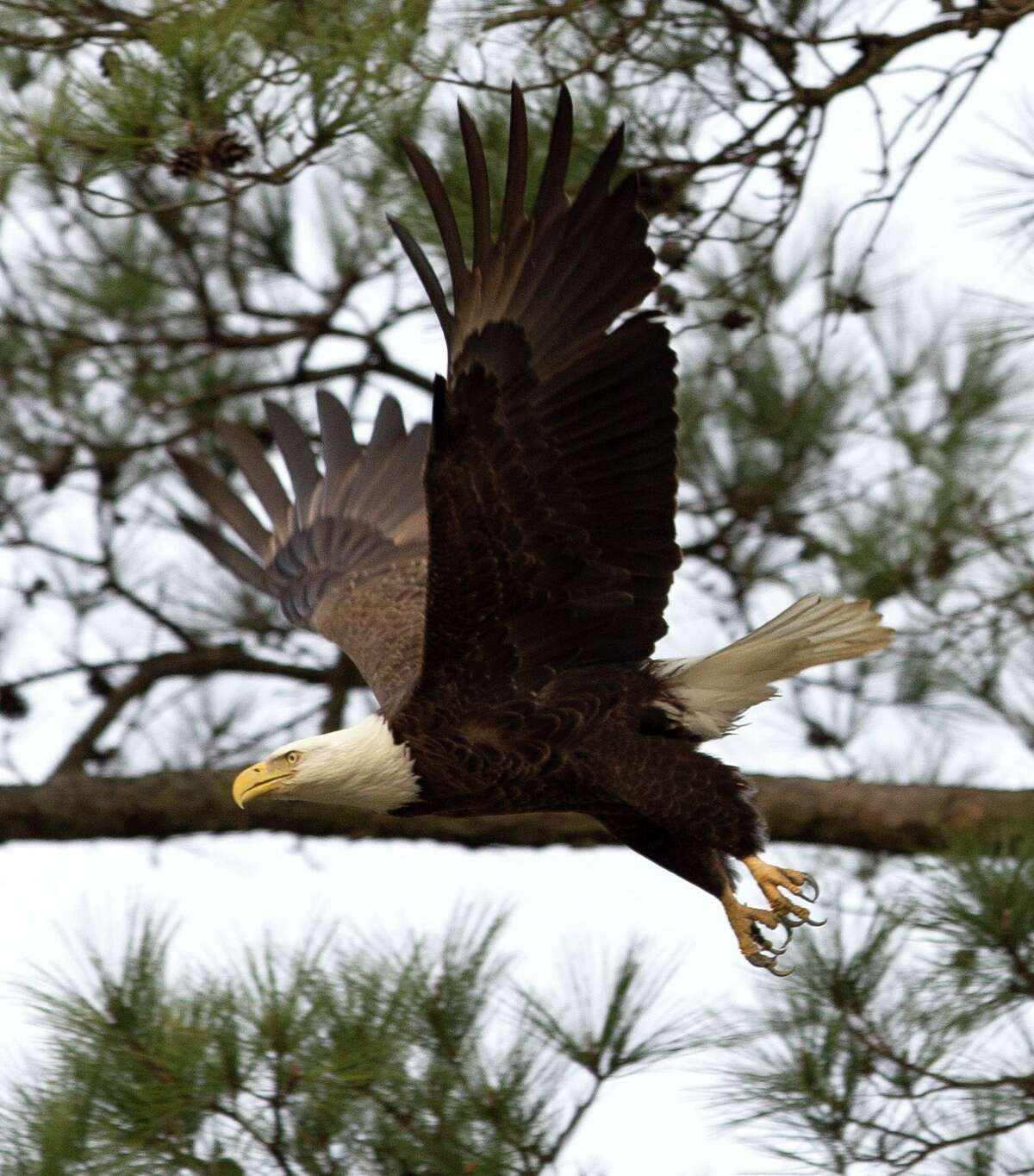 Local residents who oppose a replat plan for Mitchell Island claim the bald eagle family uses Mitchell Island for hunting, hanging out and other eagle fun. A bald eagle flies near its nest, Friday, Feb. 2, 2018, in The Woodlands.