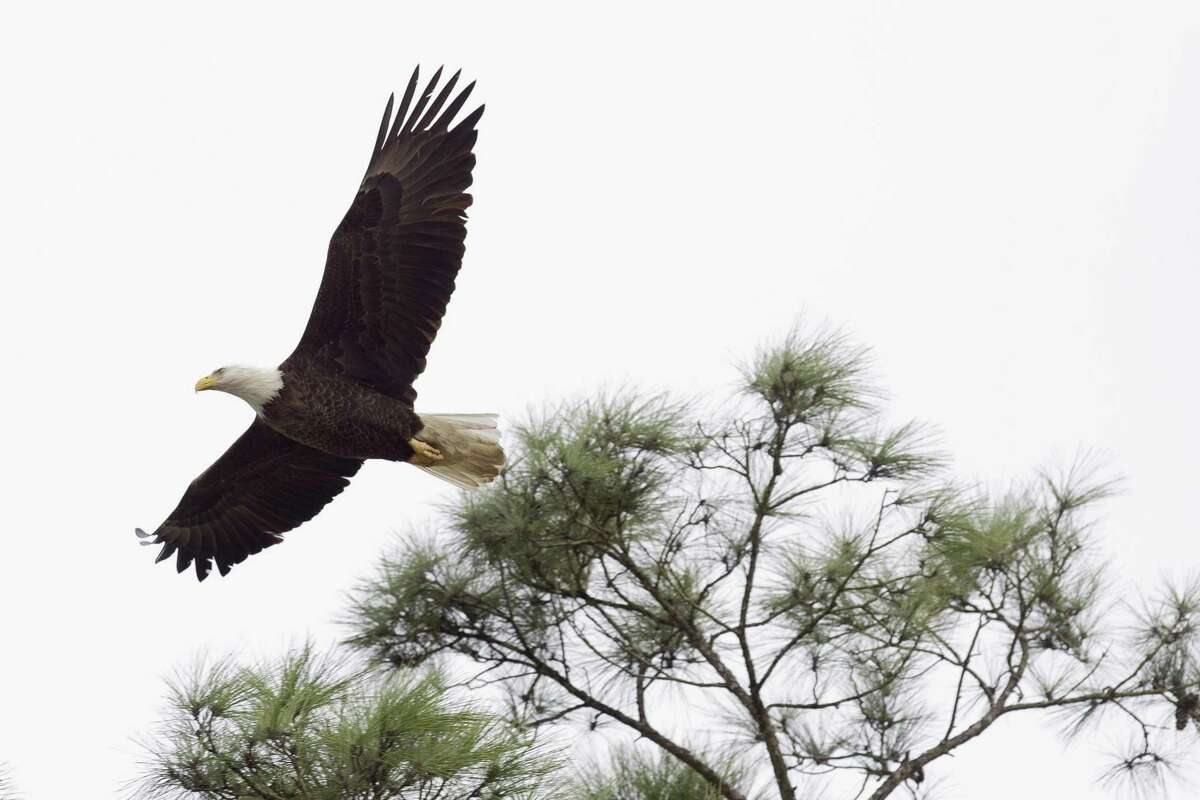 A bald eagle flies seen near its nest by Lake Woodlands, Thursday, Feb. 1, 2018, in The Woodlands. Twobaldeagles have nested near The Woodlands United Methodist Church since 2000.