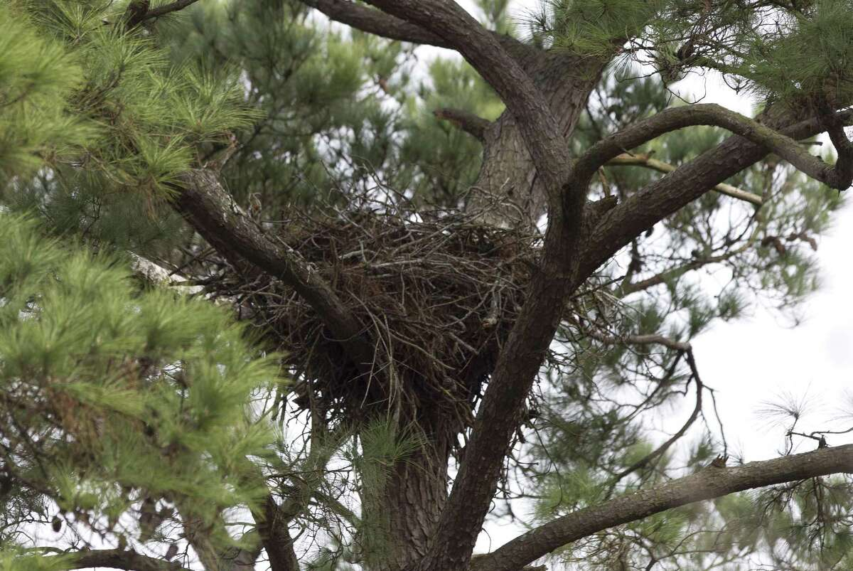 The nest of two bald eagles is seen in February 2018 in The Woodlands. The pair have nested near The Woodlands United Methodist Church since 2000. The pair of area nesting eagles have been away for the summer in a sort of reverse migration pattern, but they're expected to return in October or November to start rebuilding their vacated nests for nesting season.