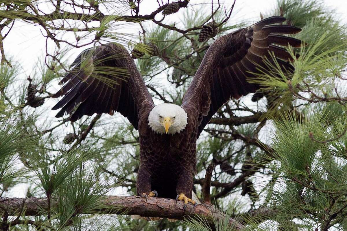 A bald eagle is seen near its nest by Lake Woodlands, Thursday, Feb. 1, 2018, in The Woodlands. Two bald eagles have nested near The Woodlands United Methodist Church since 2000 and frequently visit Mitchell Island for hunting, mating and other recreational activities. The new plans announced by Howard Hughes officials on Monday include set-aside green space for the eagles to use.