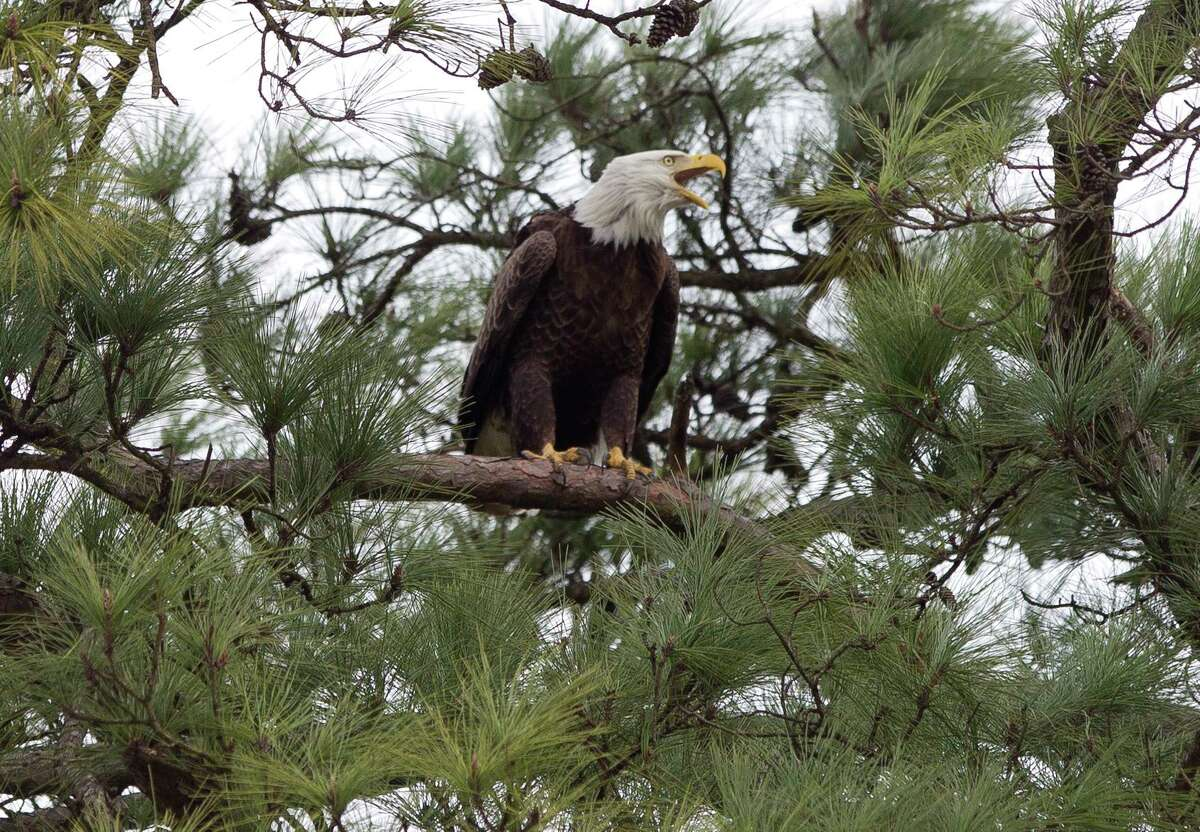 A bald eagle is seen near its nest by Lake Woodlands, Thursday, Feb. 1, 2018, in The Woodlands. Two bald eagles have nested near The Woodlands United Methodist Church since 2000. Local residents who oppose a replat plan for Mitchell Island claim the bald eagle family uses Mitchell Island for hunting, hanging out and other eagle fun.