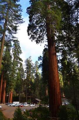 Sequoias tower over a parking lot at Sequoia National Park.