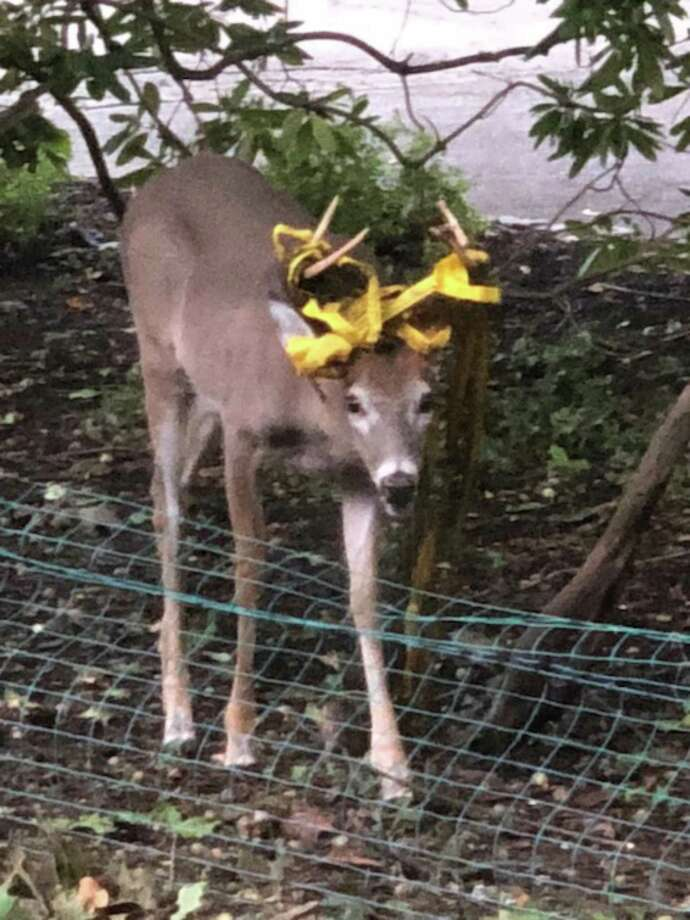 A buck spotted Tuesday on Pinecrest Road in Riverside has some type of construction tape or caution tape caught in his antlers. Photo: Contributed By Paul Kramer