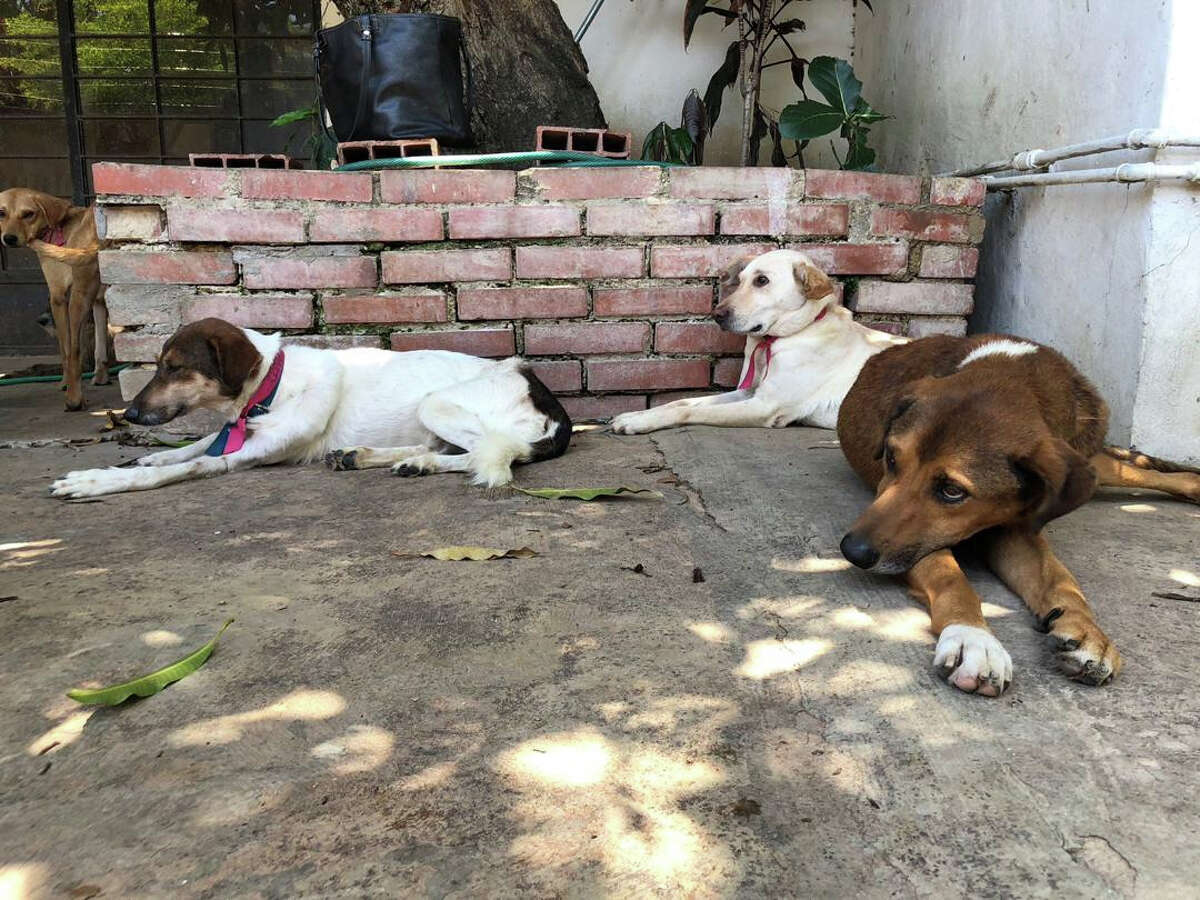 Canelo, Olivia and Serena are among the many dogs being abandoned at pet shelters or on the street by Venezuelan owners who can no longer afford to take care of them.