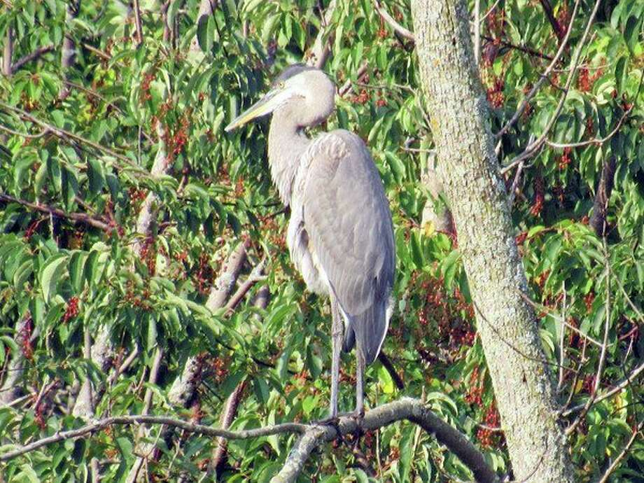 This Great Blue Heron was captured on camera by resident Dena McCormick outside of her home near the Pinnebog River. (Dena McCormick/Submitted to the Tribune)