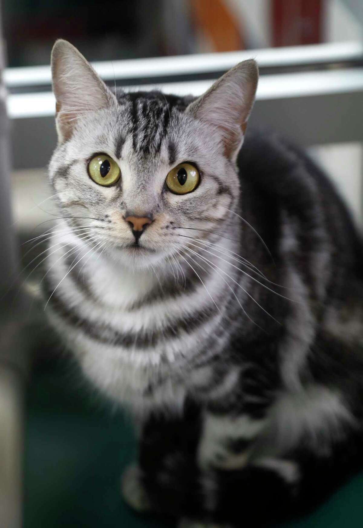 JOY (Animal ID: 39509499) A 1-year-old female silver tabby DSH cat is laid-back and sweet, but shy and is available for adoption at the Houston Humane Society. Photographed, Thursday, September 13, 2018, in Houston.