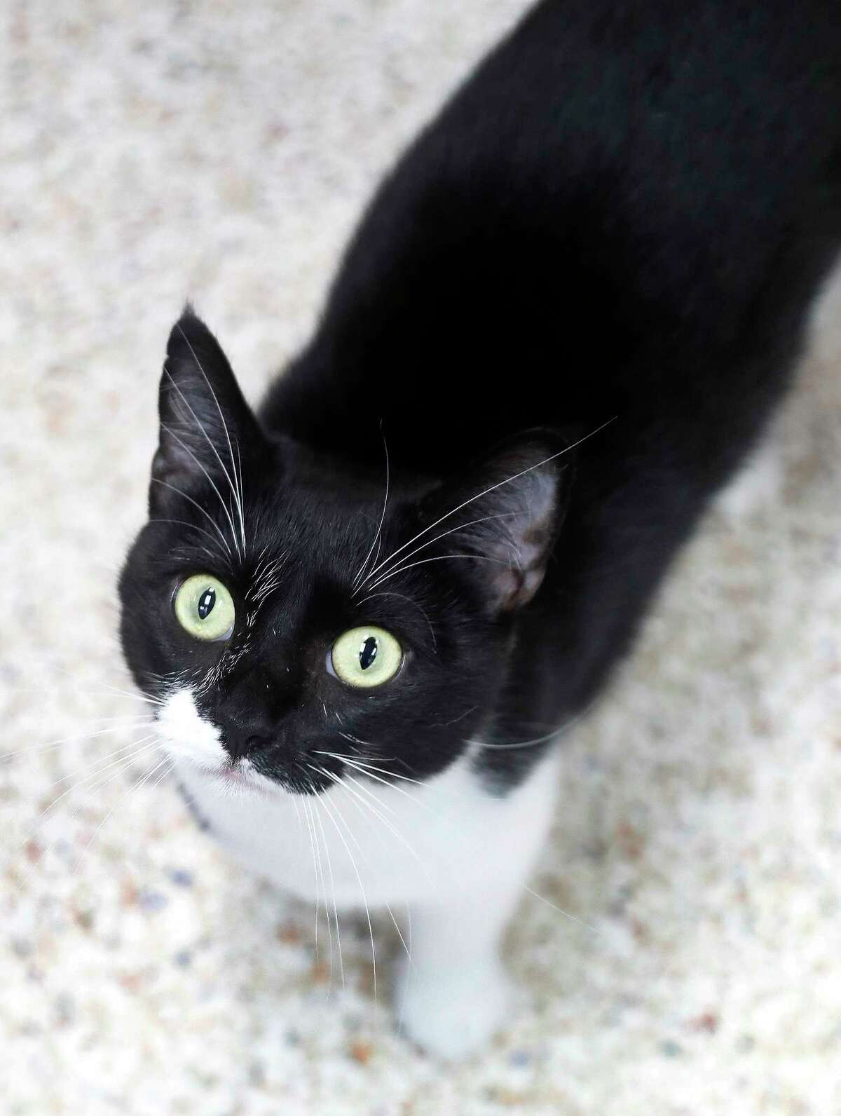 KELLY (Animal ID: 38265126) A 5-year-old black/white Domestic Short Hair cat is laid-back and sweet, she loves to be brushed and is available for adoption at the Houston Humane Society. Photographed, Thursday, September 13, 2018, in Houston.