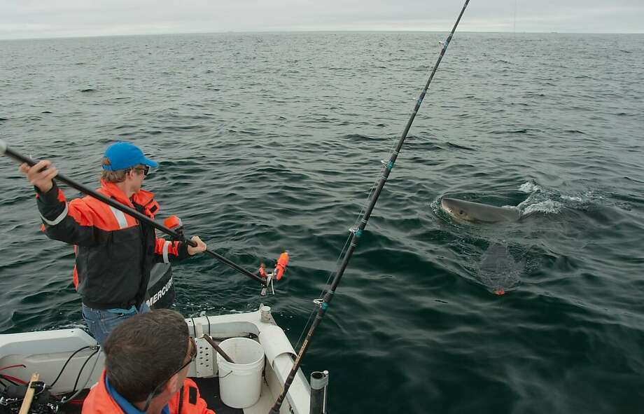 Hexbyte  Hacker News  Computers Salvador Jorgensen, a research scientist with the Monterey Bay Aquarium, tags a shark near the Farallon Islands. Photo: Courtesy Salvador Jorgensen