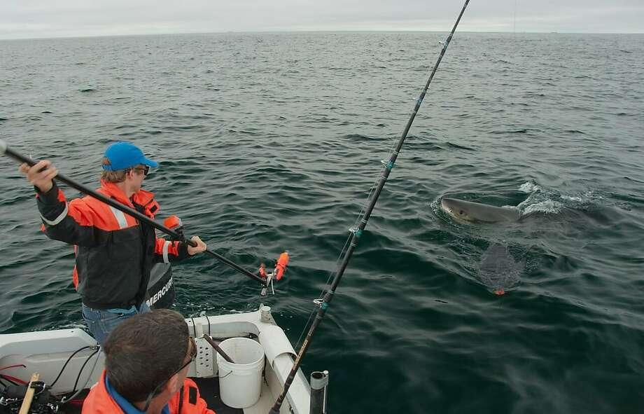 Salvador Jorgensen, a research scientist with the Monterey Bay Aquarium, tags a shark near the Farallon Islands. Photo: Courtesy Salvador Jorgensen