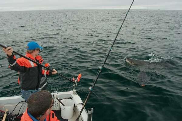 Salvador Jorgensen, a research scientist with the Monterey Bay Aquarium, tags a shark near the Farallon Islands.
