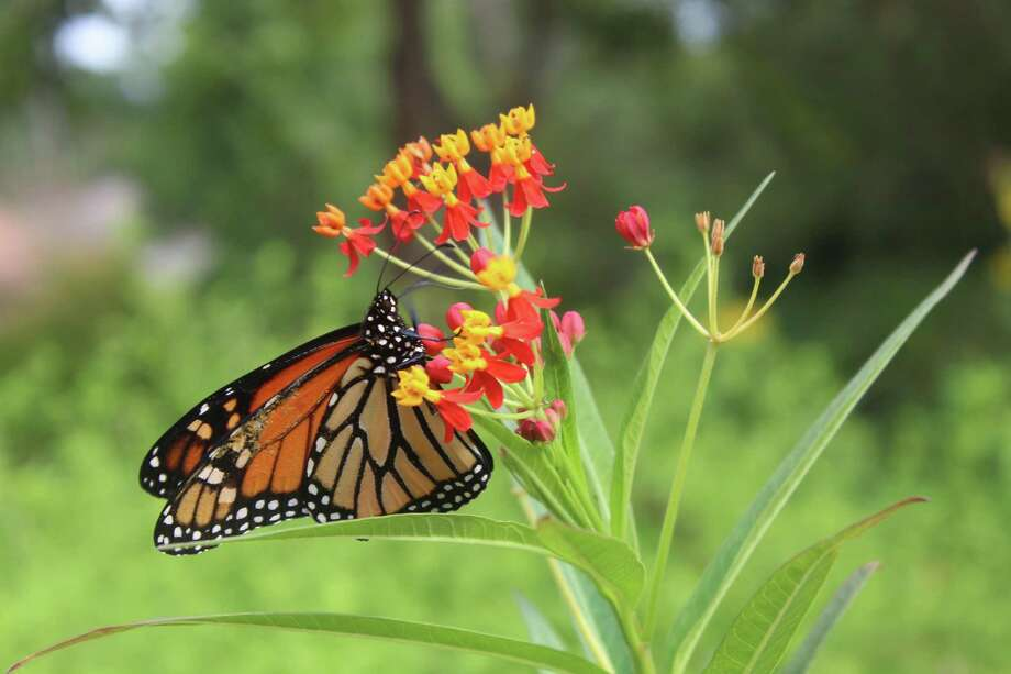 The Monarch butterfly feeds only on the milkweed. The butterfly and milkweed co-evolved — the Monarch is the only animal that will eat the toxic milkweed, which in turn makes it toxic for predators, said Master Gardener Kendall Clark. Photo: Photographed By Marialuisa Rincon