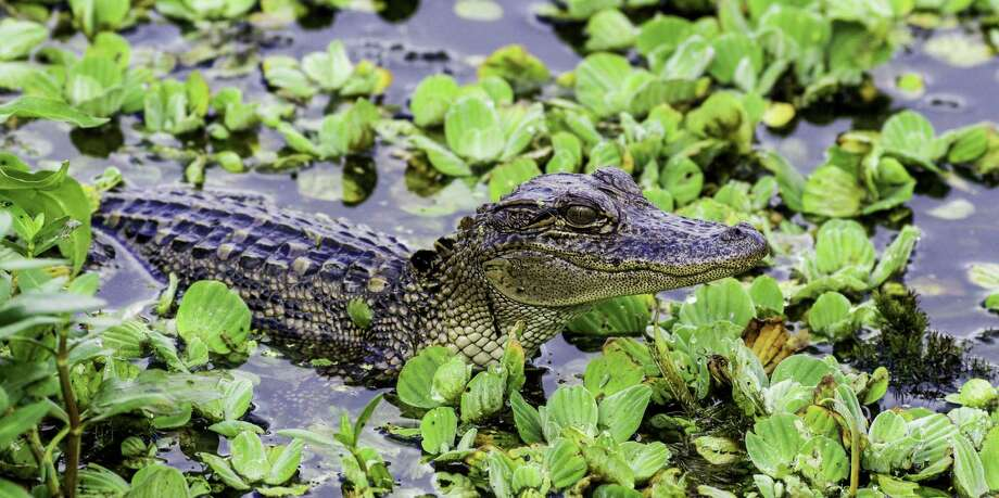 """Cullinan Park Conservancy invites photographers to submit photos to its annual photo contest. underwritten by Johnson Development Corp. John Donaho of Missouri City received an honorable mention in 2017 for his """"Young Gator"""" photo. Photo: John Donaho / John Donaho / JCDONAHO"""