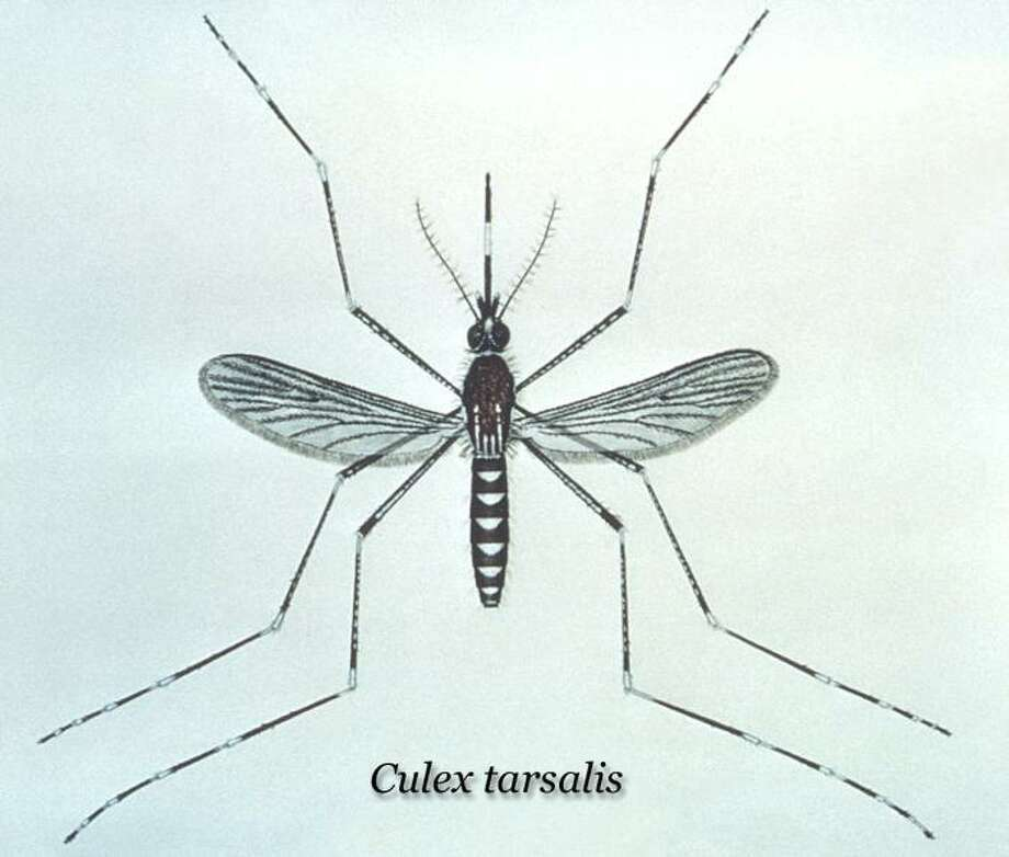 The culex mosquito, health officials say, is the species responsible for transmitting the West Nile virus from birds to humans. Photo: CDC / Internal