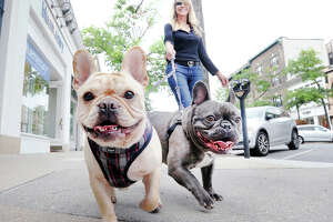 """Kat Rosier of Greenwich enjoys a walk with her French Bulldogs, Taj, left, and Juno, on Greenwich Avenue, Friday, Sept. 14, 2018. Rosier said her dogs are quite popular """"these two are famous on the Ave., everyone knows them and the shop keepers stop us and have us in just to say hello."""""""
