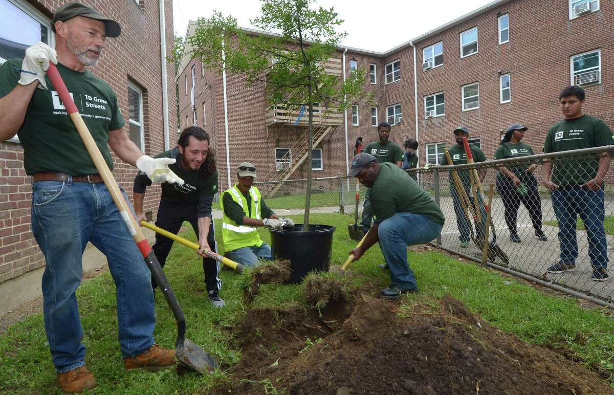 Landscape Architect at Heritage Landscapes LLC and Norwalk Tree Advisory Commissioner. Peter Viteretto, Norwalk Community College (NCC) student Dorian Gonzales, Norwalk Tree Advisory Chairman and The Care of Trees Arborist, Richard Whitehead, and NCC student, Henry Hood, plant a pin oak following a brief ceremony at Roodner Court Housing Complex Friday September 14, 2018, in Norwalk, Conn. A grant Norwalk Community College received through TD Green Streets, and a partnership with the City of Norwalk Tree Advisory Committee and Norwalk Housing Authority, made possible the special tree planting ceremony where 12 trees were planted at the Housing Complex by the group of arborists, officials and local volunteers including a dozen Norwalk Community College students.