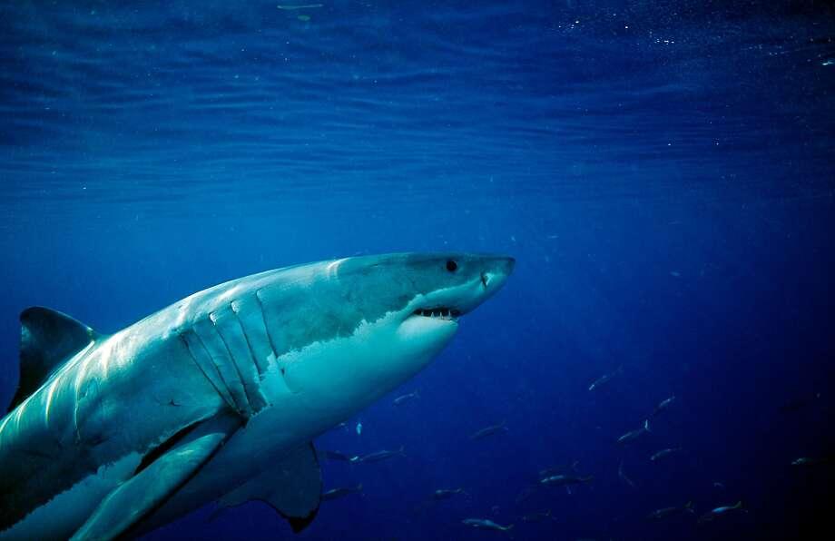 Great White Shark, Carcharodon carcharias, USA, California, Pacific Ocean, Farallon Island, San Francisco Bay  (Photo by Reinhard Dirscherl/ullstein bild via Getty Images) Photo: Reinhard Dirscherl / Ullstein Bild