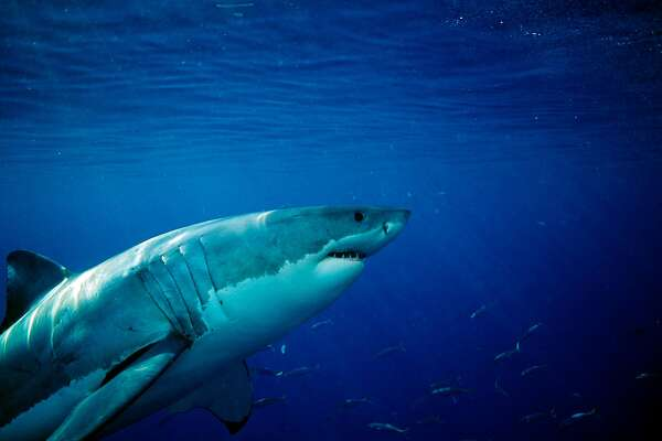 Mysterious great white shark lair discovered in Pacific