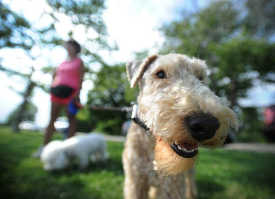 FILE PHOTO — Picture is Teddy, a 3-year-old Lakeland terrier, in Bridgeport, Conn., on Monday, June 30, 2014. Photo: Hearst Connecticut Media / Brian A. Pounds / Connecticut Post