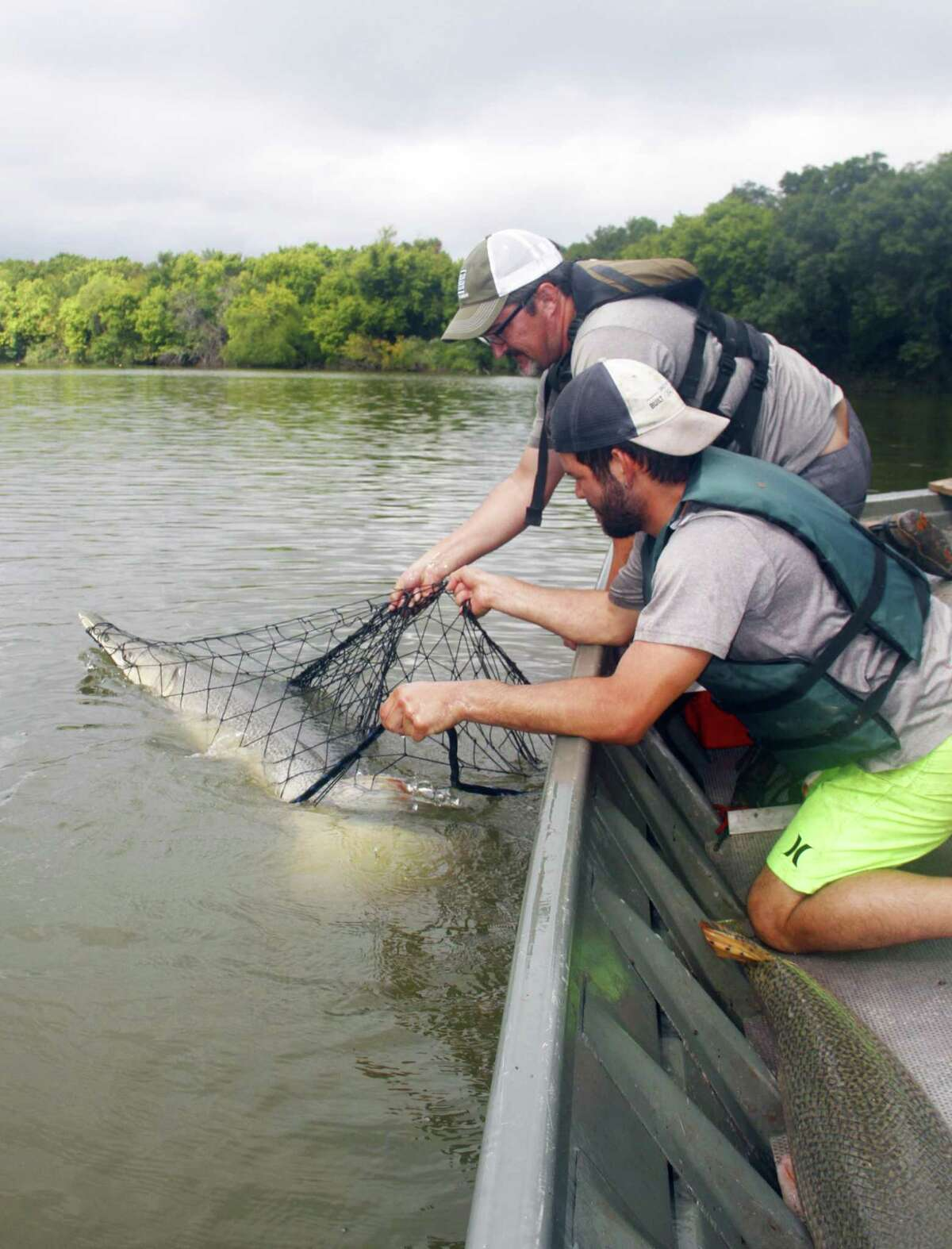 Texas fisheries scientists Dan Daugherty and Dominik Chilleri work to transfer live alligator gar caught in gill nets set in the Brazos River into their boat. The long-lived gar, some weighing more than 100 pounds, will be tagged and released as part of ongoing research into the state's largest freshwater fish.