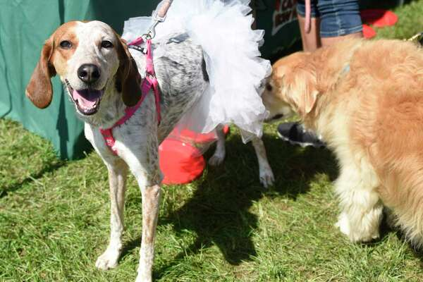 Photos from Adopt-A-Dog's Puttin' on the Dog event at Roger Sherman Baldwin Park in Greenwich, Conn. Sunday, Sept. 16, 2018. Hundreds of pooches prowled in the park at the event which included adoptable dog parades, demonstrations, competitions, a scavenger hunt and more.