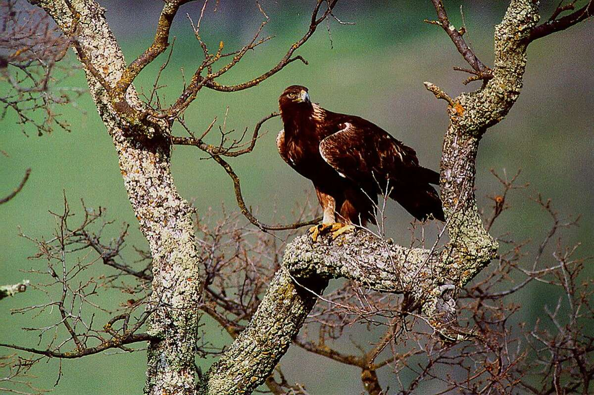 Golden eagles, prairie falcons, peregrine falcons and other raptors are often sighted on the hike from Diablo Foothills Regional Park to Castle Rock Recreation Area