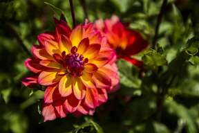 Dahlias are in full bloom while people visit Dahlia Hill during the annual Autumn Equinox event, which included a tribute to Charles and Ester Breed, on Sunday, Sept. 16, 2018 at the garden. (Katy Kildee/kkildee@mdn.net)