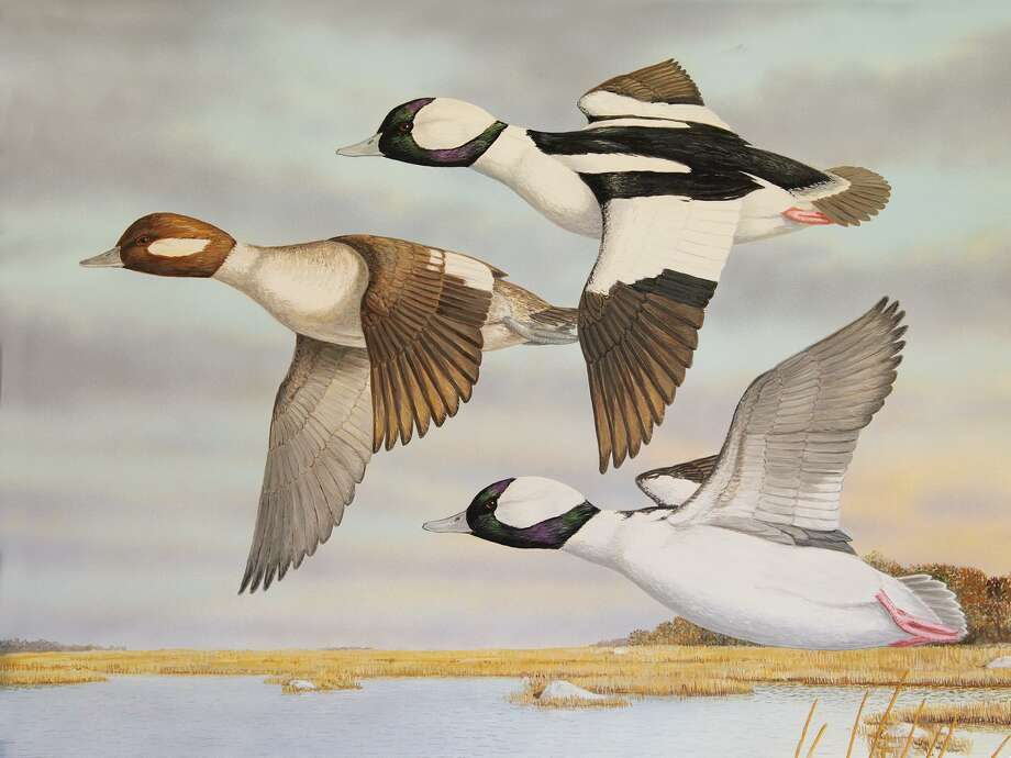 The Connecticut Department of Energy and Environmental Protection (DEEP) recently announced that prints of the 2019 Connecticut Migratory Bird Conservation Stamp, created by second time winner Jeffrey Klinefelter, are now available in limited quantity. There is a limited number of signed prints of Klinefelter's depiction of buffleheads at Barn Island Wildlife Management Area in Stonington. The prints are $200 each, and all proceeds from the purchase of these stunning prints, as well as all funds collected from the sale of Migratory Bird Conservation Stamps, go into the Connecticut Migratory Bird Conservation Fund. This fund is used for the enhancement of wetland and associated upland habitats in our state.  Those interested in purchasing a print should contact DEEP Wildlife Division biologist Min Huang at min.huang@ct.gov or 860-418-5959. Photo: Contributed Photo