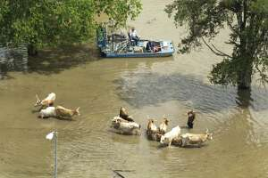 Cattle are herded to higher ground near Bear Creek Park inundated by floodwaters on Tuesday, April 19, 2016, in Houston.
