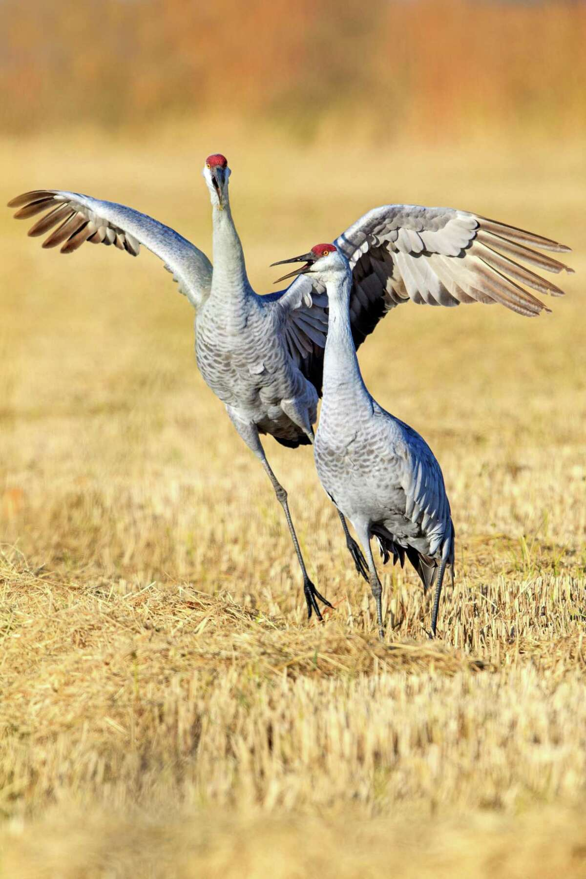 The cranes hunt in small family groups during the day.