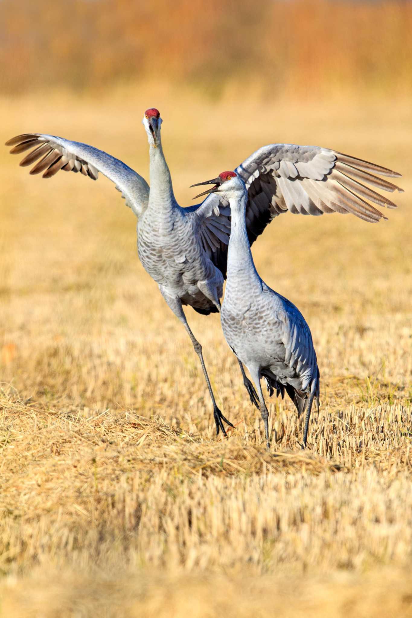 Drama In World Of Birds Sandhill Crane >> Birdwatchers Flock To Lodi For Majestic Sandhill Cranes