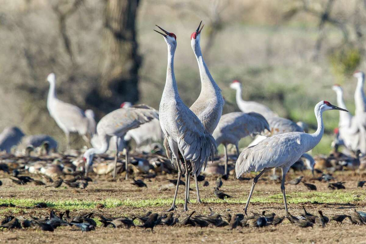 Every fall, 40,000 sandhill cranes flock to wetland preserves near Lodi for the winter.