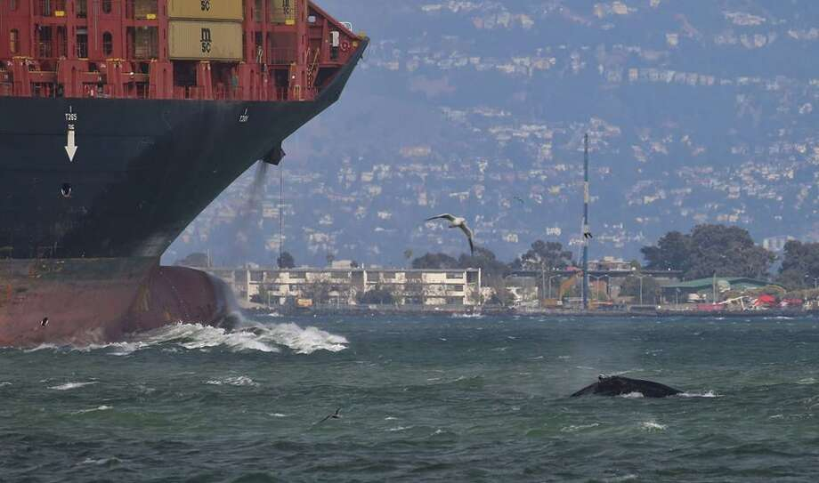 A humpback whale in a busy area of the San Francisco Bay narrowly avoided being hit by a cargo ship on Sept. 15, 2018. Photo: Joey Mueleman / SF Whale Tours