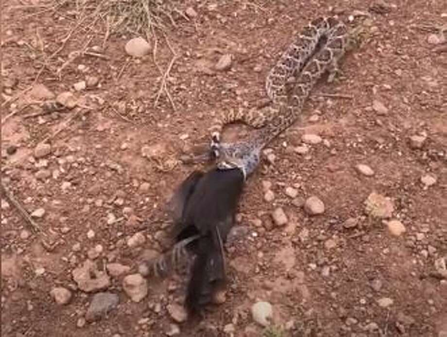 A new video posted on Facebook by the Texas Parks and Wildlife Department shows a rattlesnake eating a bird — a rare occurrence, according to the department. Photo: Screen Grab From Texas Parks And Wildlife Media