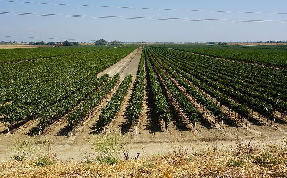 Vineyards on Ryer Island in the Sacramento Delta.