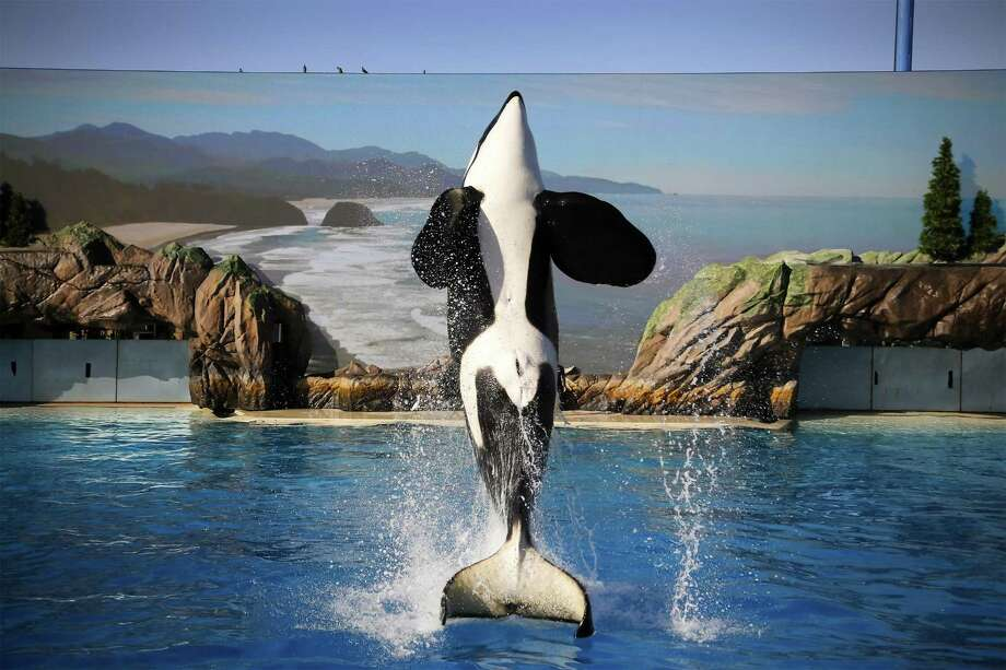 """SeaWorld Entertainment and two former company officials have agreed to settle fraud charges stemming from the company's public statements in the wake of the 2013 documentary film """"Blackfish,"""" which negatively portrayed the company's treatment of orcas. Photo: Howard Lipin /TNS / San Diego Union-Tribune"""