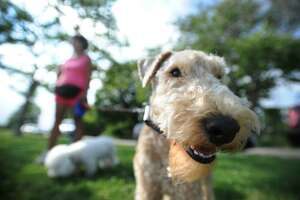 FILE PHOTO — Pictured is Teddy, a 3-year-old Lakeland terrier, in Bridgeport, Conn., on Monday, June 30, 2014.