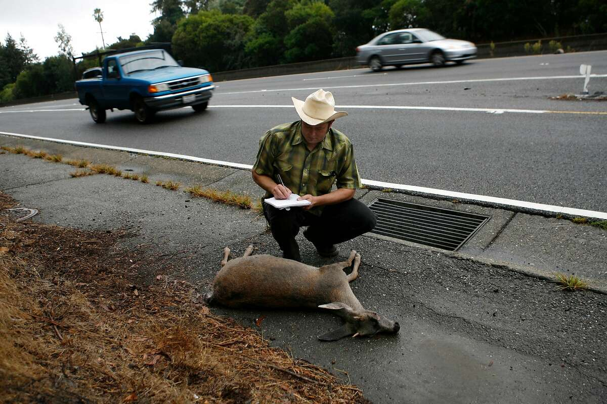 Douglas Long collects data from a black-tailed deer hit on California State Route 13 in Oakland for the California Roadkill Observation System. Wildlife-vehicle collisions are rising on Bay Area roadways.