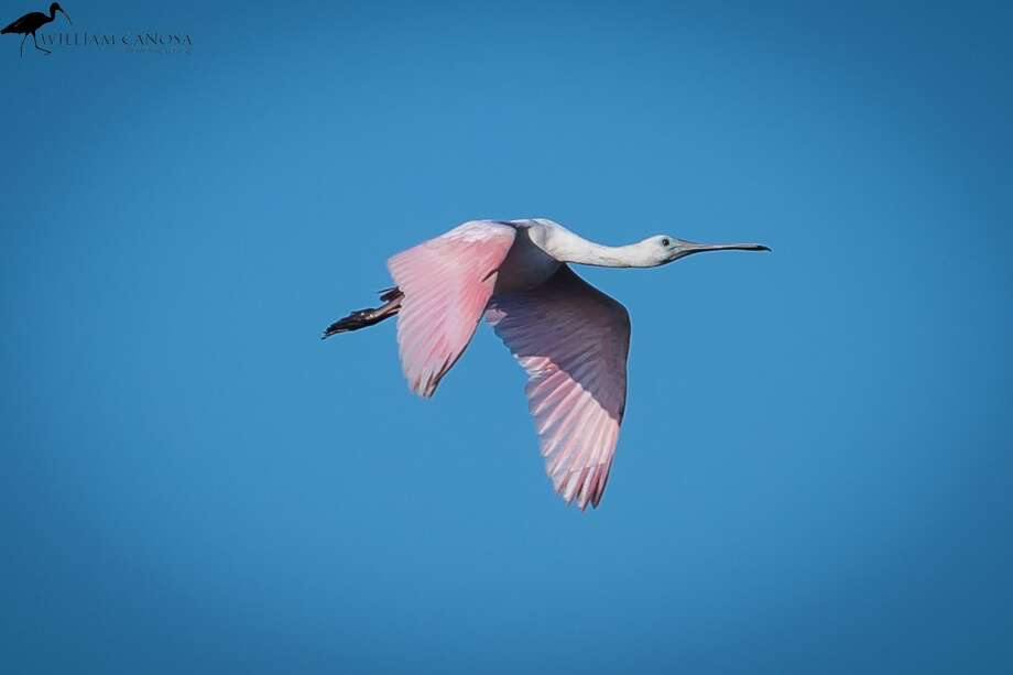 This rare subtropical bird called a Roseate Spoonbill was spotted in Milford and Stratford in September, 2018. Photo: William Canosa