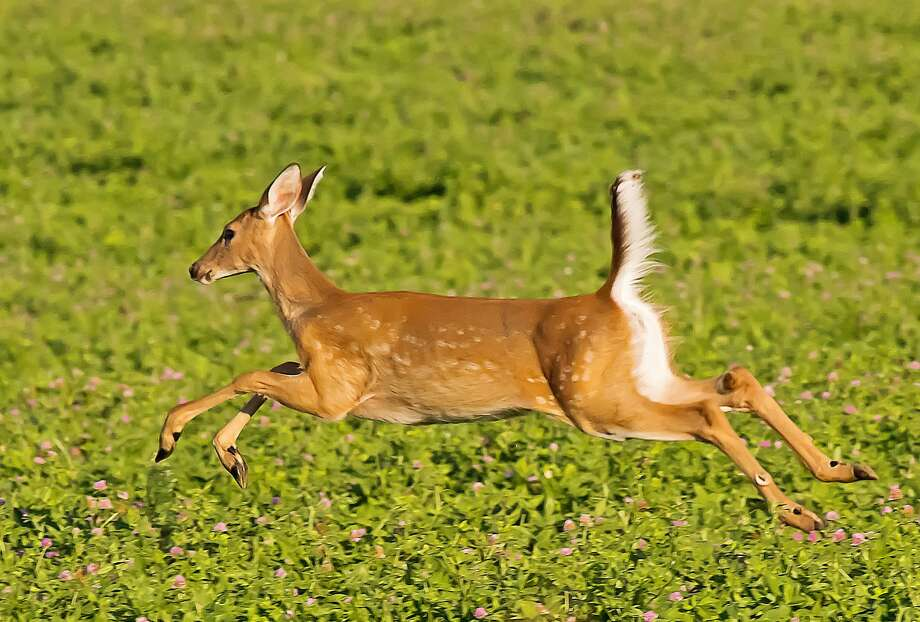 This young white-tail deer, still sporting some of its spots, was recently seen running across a field near Port Austin. Photo: Bill Diller/For The Tribune